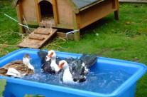 Water Trough / Duck Pond x 2
